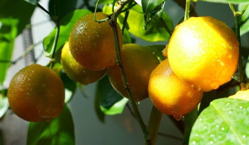 Easiest Fruit to Grow Indoors