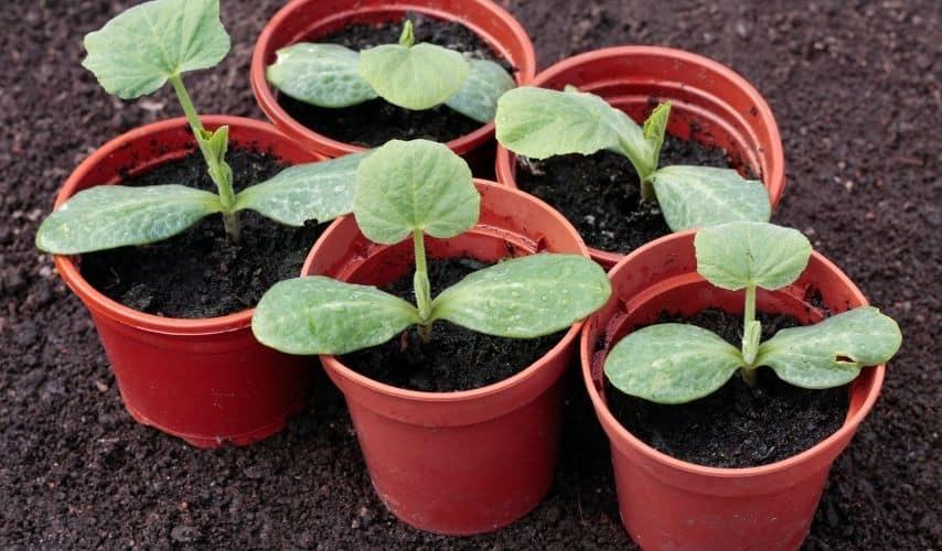 Fast growing vegetables in pots