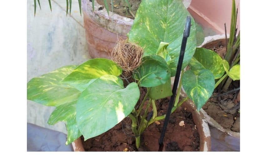How to grow money plant In balcony