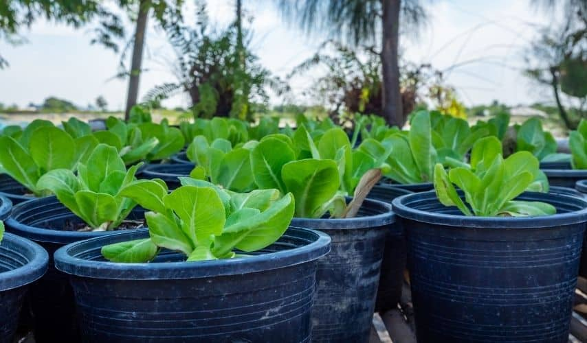 Growing vegetables in pots for beginners