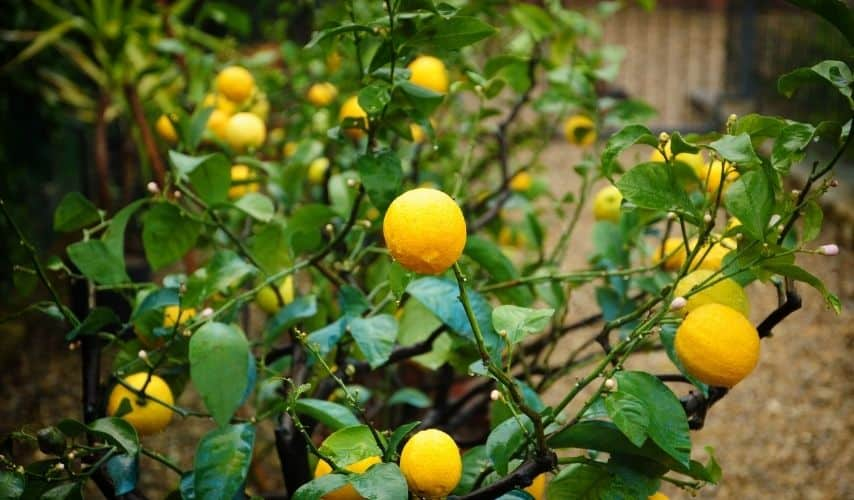 Start a Fruit Garden For Beginners step by step
