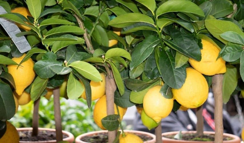 easiest fruit trees to grow indoors