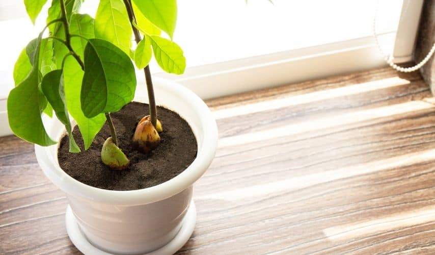 easy fruit to grow indoors