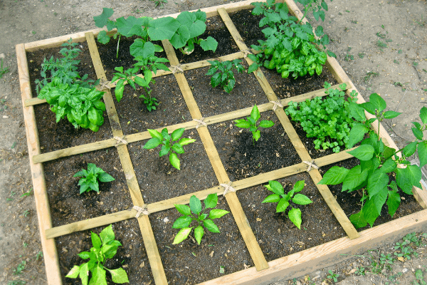Companion Planting Square Foot Gardening