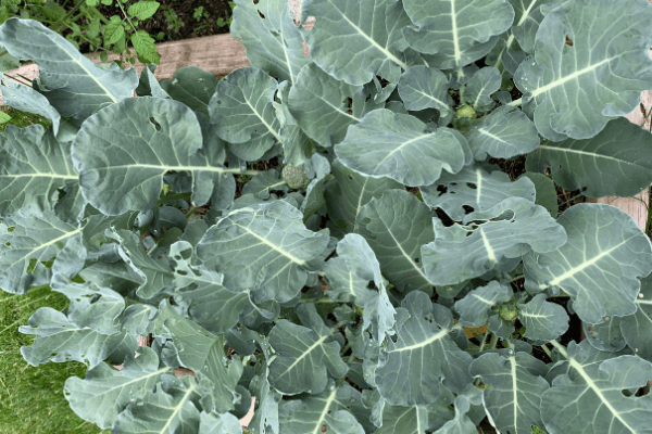 Square Foot Gardening Broccoli