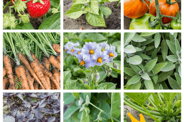 Square Foot Gardening Companion Planting Tips