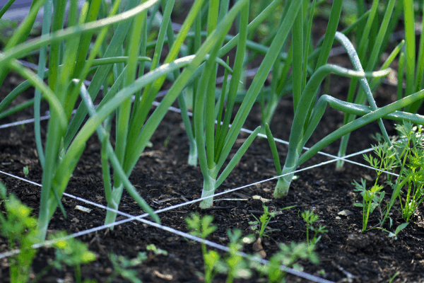 Square Foot Gardening Companion plants