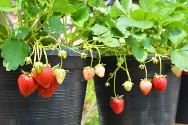 how many hours of sun do strawberries need