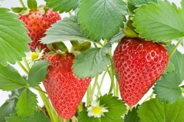 how much sun do strawberries need