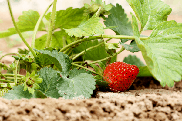 how much sun do strawberry plants need